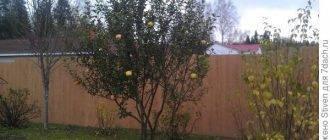 Почему яблоня плодоносит через год – все возможные причины