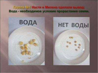 Как замочить семена огурцов перед посадкой: зачем проращивать семена и как это делается правильно (115 фото + видео)