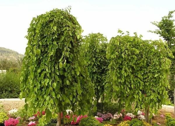 Как размножается шелковица. черенкование шелковицы размножение шелковицы зелеными