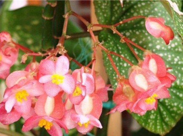 Всё про бегонию коралловую (begonia corallina): уход, обрезка, размножение