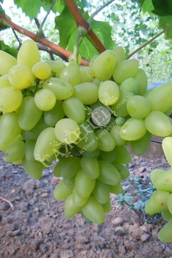 Виноград бажена: описание сорта, особенности выращивания, отзывы