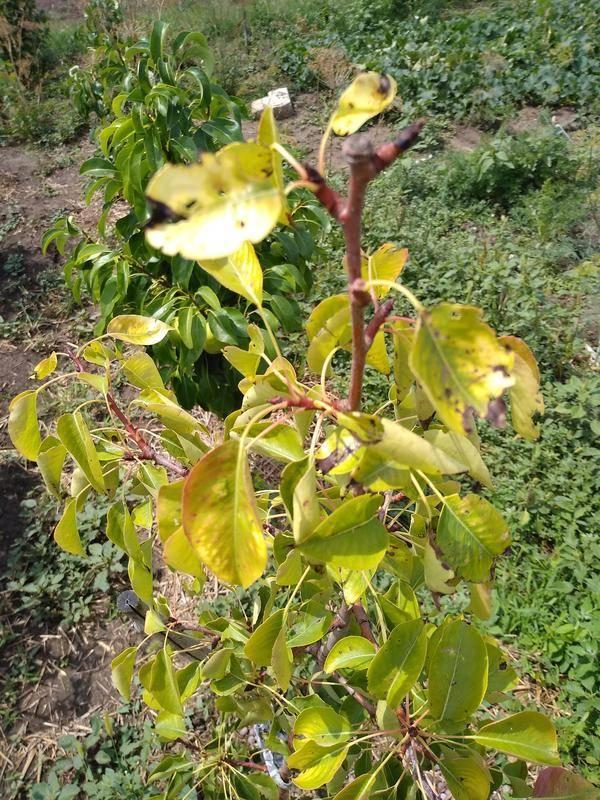Саженцы плодовых деревьев листья желтеют. почему желтеют листья у груши