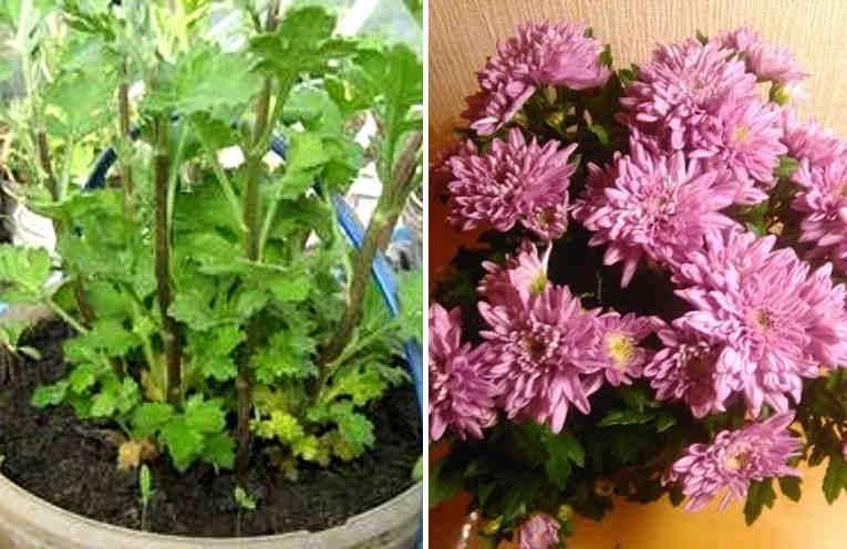 Как размножить хризантему? размножение и укоренение хризантемы в домашних условиях. как ее рассадить?