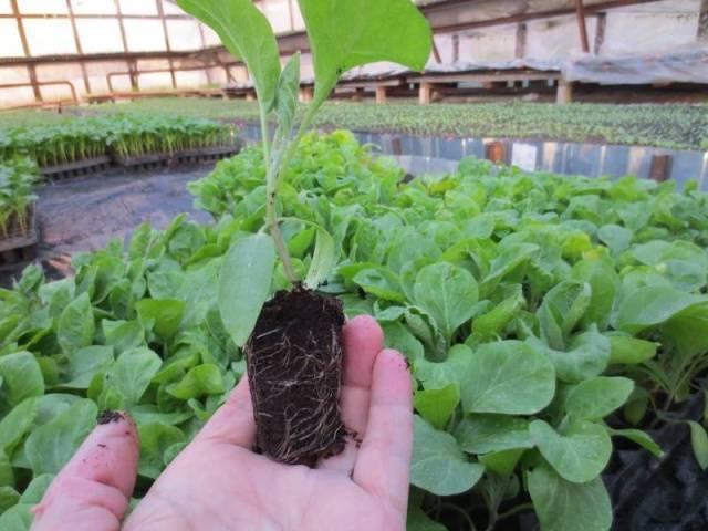 Чем подкормить баклажаны: виды удобрений, как правильно вносить, полезные советы
