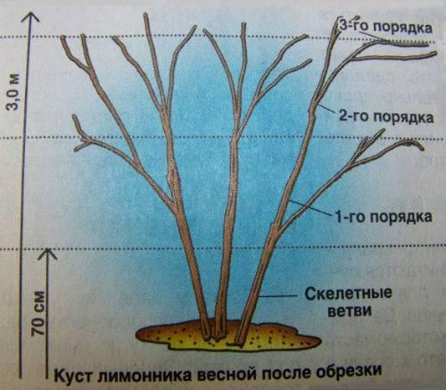 Уход за актинидией осенью подготовка к зиме. обрезка и формирование актинидии как правильно обрезать актинидию весной