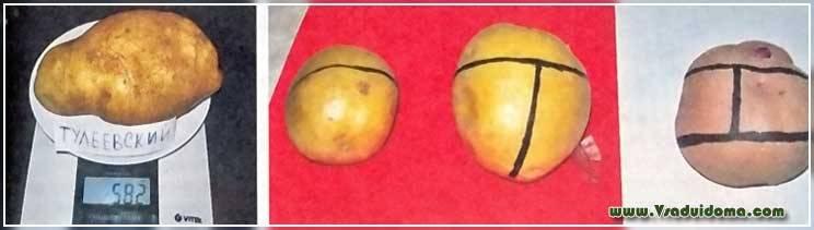Семенной картофель – что это такое, отличие от обычного, популярные сорта, как вырастить и выбрать для посадки?