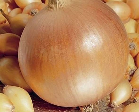 Описание и выращивание укропа геркулес