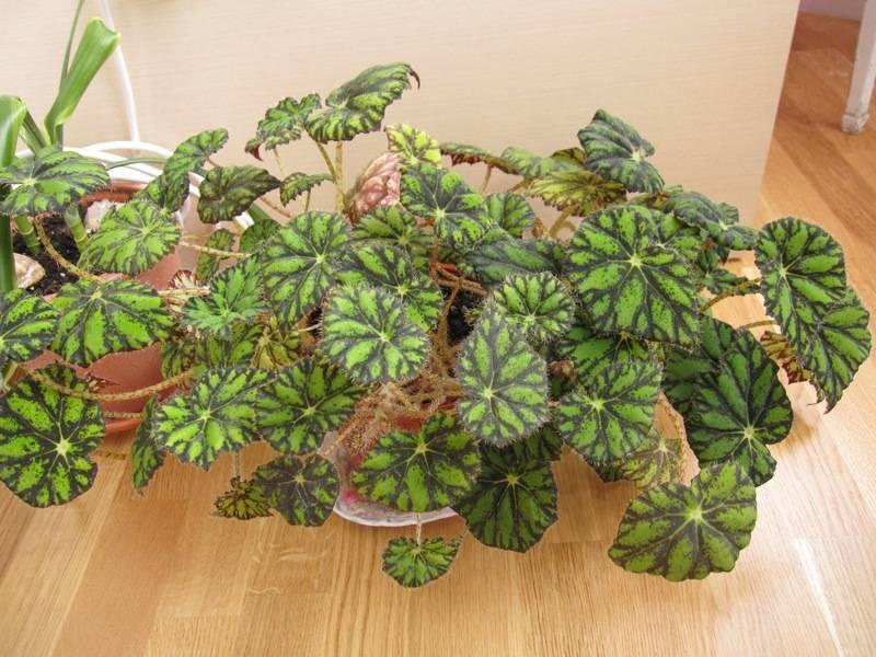 Растение бегония и уход в домашних условиях