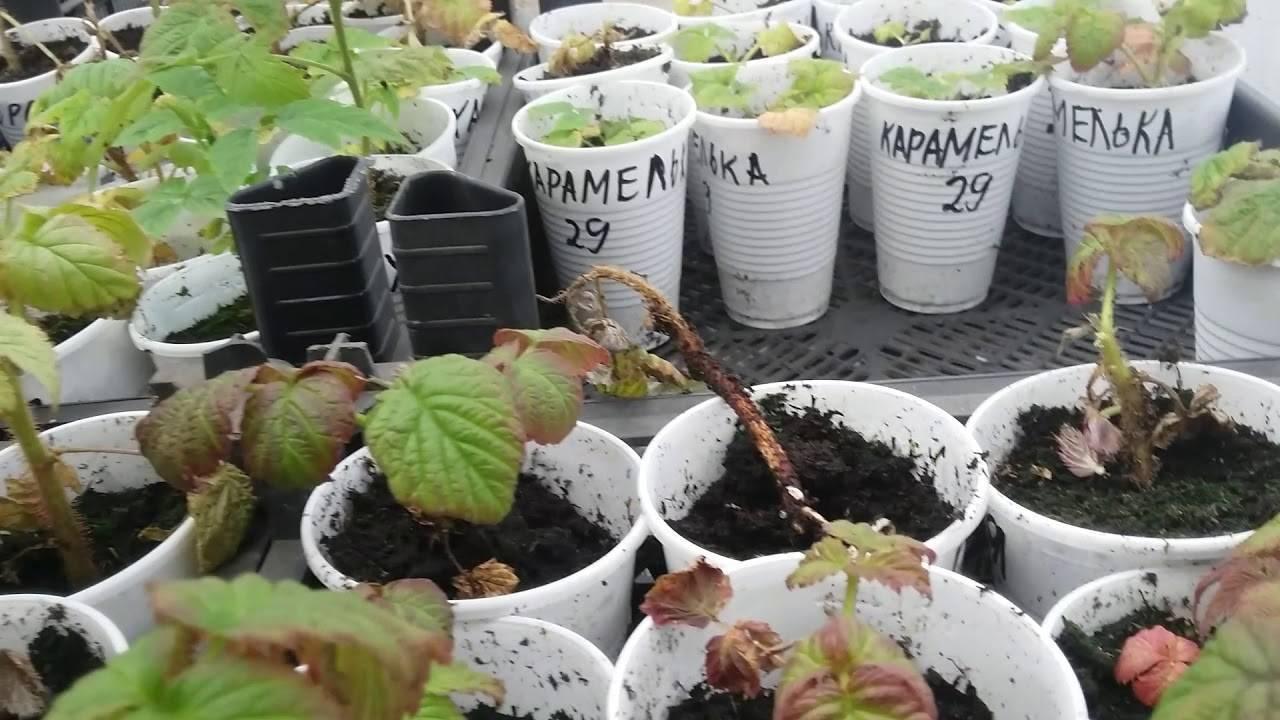 Малина: выбор сорта, выращивание, особенности ухода для повышения урожайности