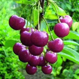 Дюки - гибриды черешни и вишни