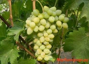 Восторг - описание и характеристики сорта винограда