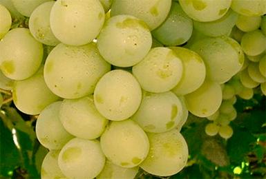 Описание винограда сорта кеша, посадка и выращивание