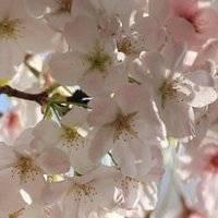 Когда и как правильно сажать вишню в открытый грунт весной