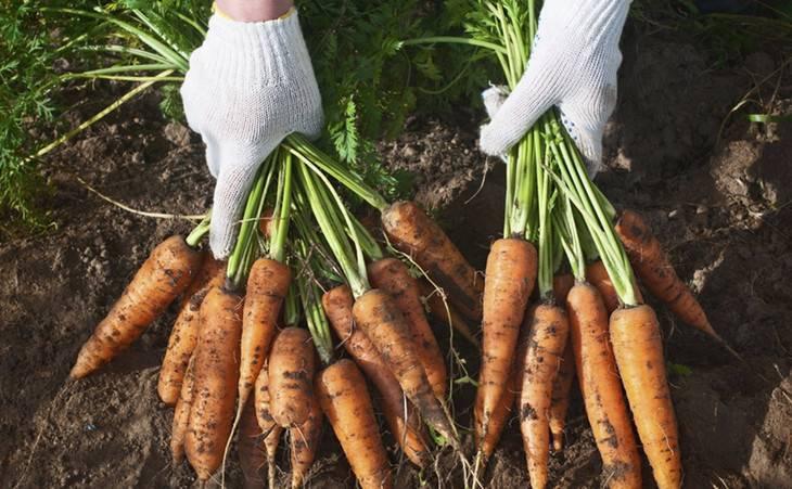 Самые лучшие сорта семян моркови для сибири
