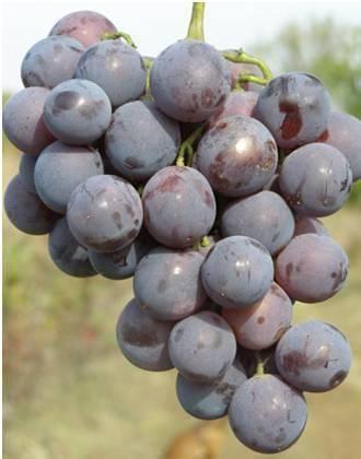 Виноград кардинал: описание сорта розовый, особенности, характеристики и фото