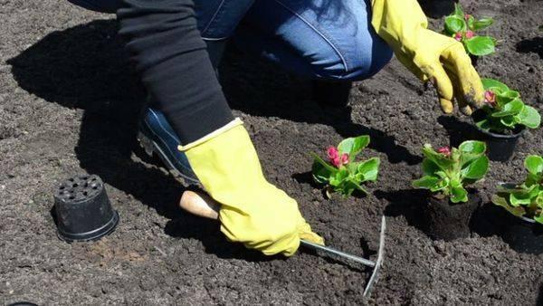 Бегония клубневая - посадка и уход в домашних условиях, выращивание