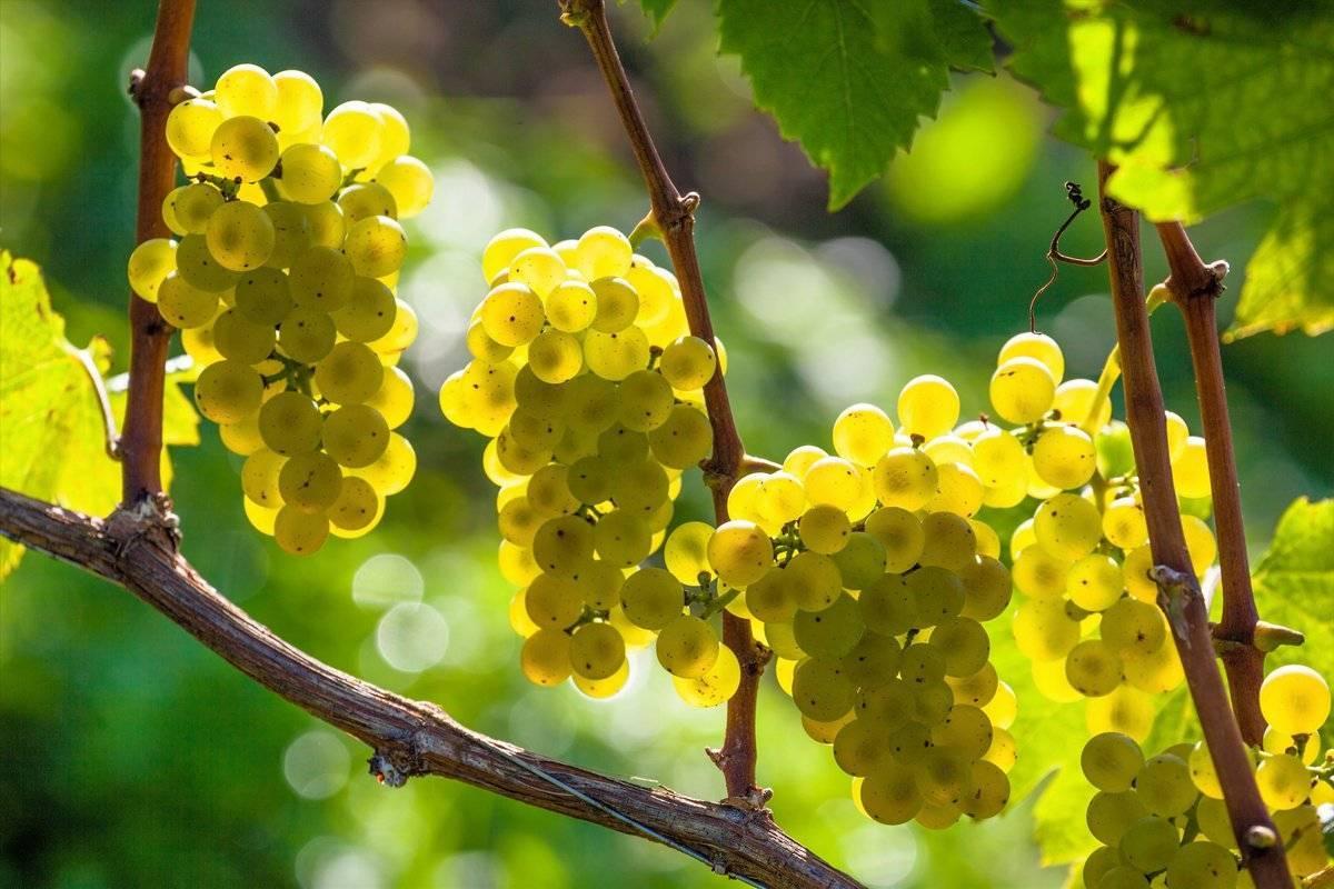Формирование винограда: простые схемы формирования для начинающих и советы экспертов по выбору способа (видео инструкция + 140 фото)