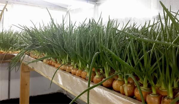 Выращивание лука на перо в теплице зимой: как вырастить, по какой технологии и какова урожайность зеленого лука?