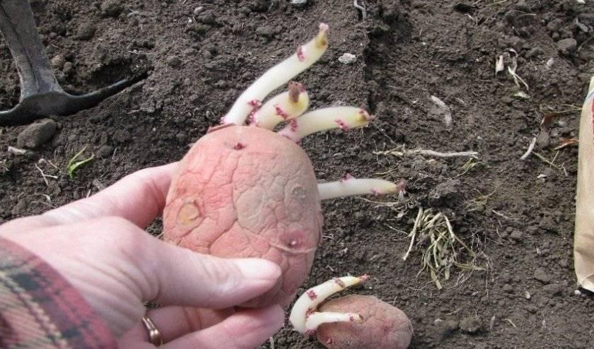 Сорт картофеля рябинушка характеристика отзывы фото