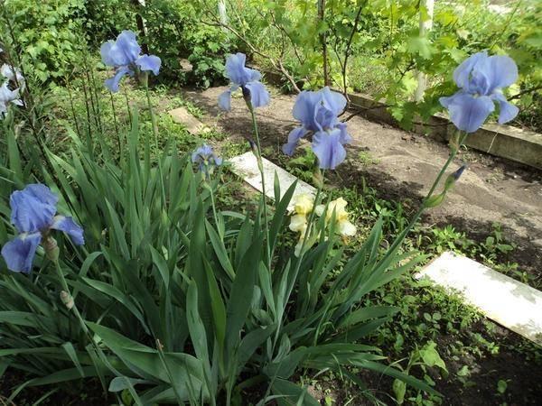 Цветы ирисы - особенности пасадки и ухода