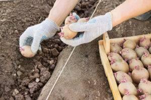 Посадка, выращивание и уход за клубникой по методу галины кизимы: фото + видео