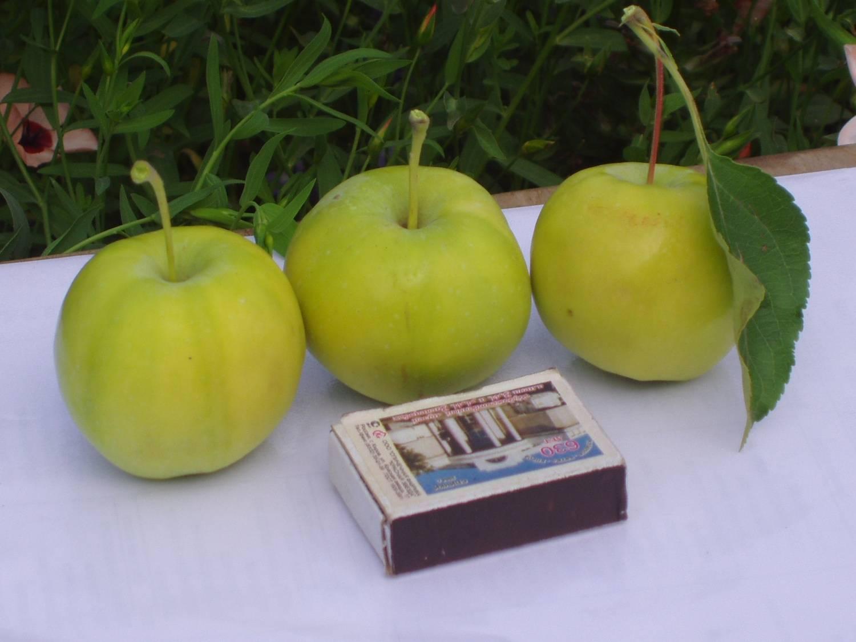 Уральские, или, если хотите, свердловские яблони