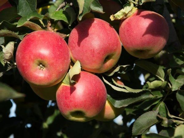 Яблоня «юный натуралист»