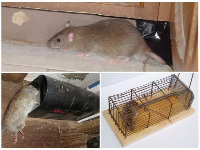 Как бороться с крысами в курятнике: народные средства
