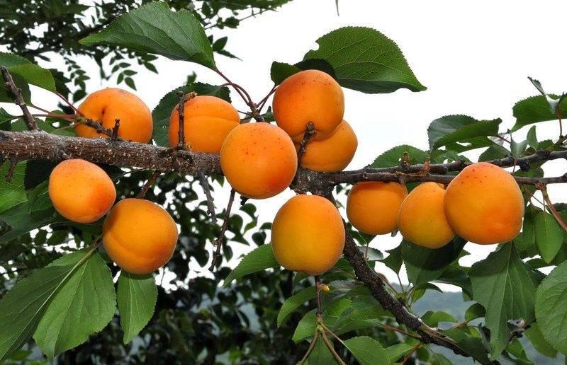 Описание абрикоса сорта хабаровский: характеристики, фото, отзывы, видео