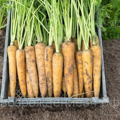 7 эффективных способов посева семян моркови