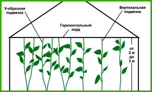 Правила и частота полива болгарского перца в теплице и открытом грунте