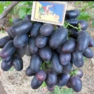 Сорт винограда «велика» описание с фото и видео