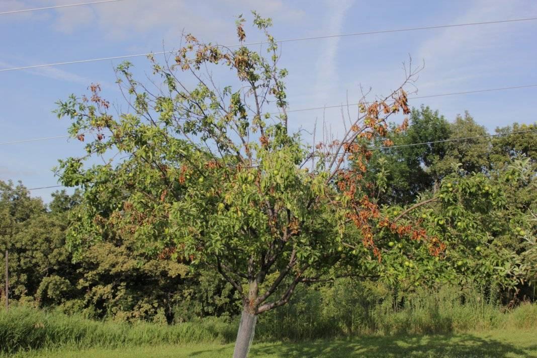 Осыпаются плоды айвы - запись пользователя ˙·•๑ надежда ๑•·˙ (valet-ka) в сообществе сад, огород в категории кустраники и плодоносные деревья. - babyblog.ru