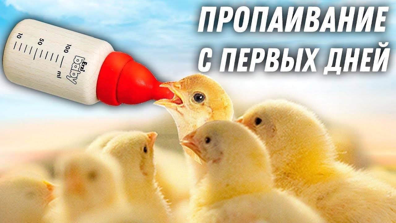 Кормление цыплят несушек в домашних условиях