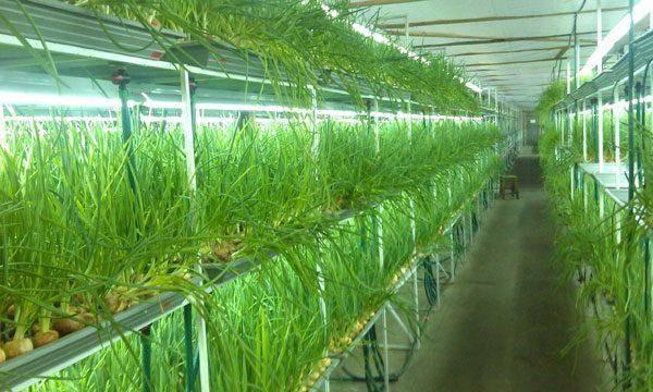 Выгонка лука на зелень — какие сорта выбрать, и как вырастить лук в открытом грунте или теплице