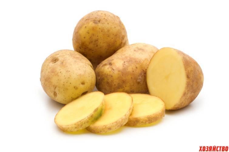 Сорт картофеля «сантана»: характеристика, урожайность, отзывы и фото
