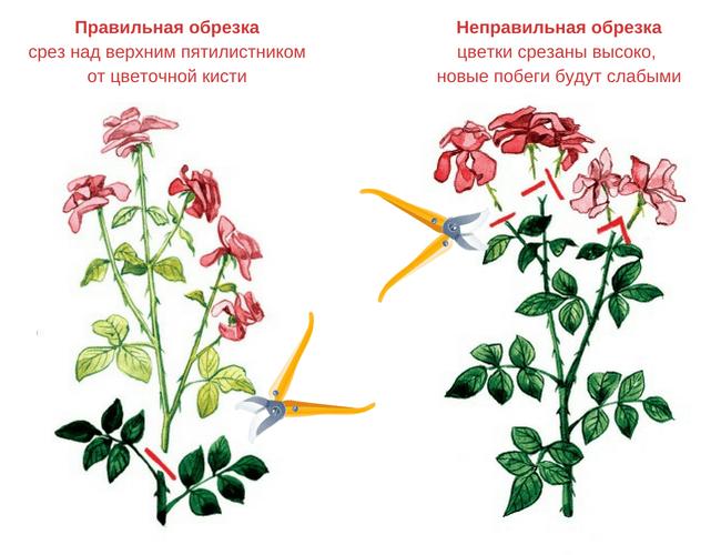 Обрезка розы после цветения – правильный уход за кустом