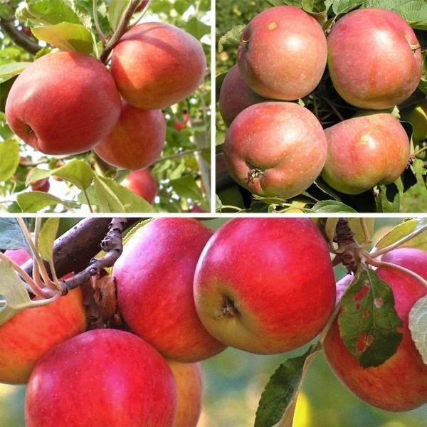 Выращивание яблони белорусское сладкое