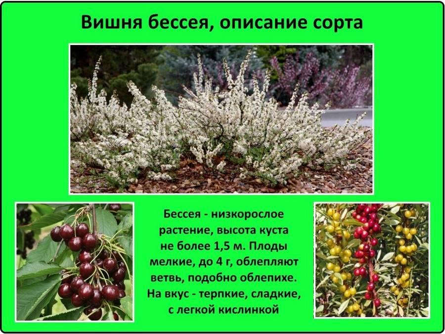 Бессея — декоративная вишня, произрастающая в прериях