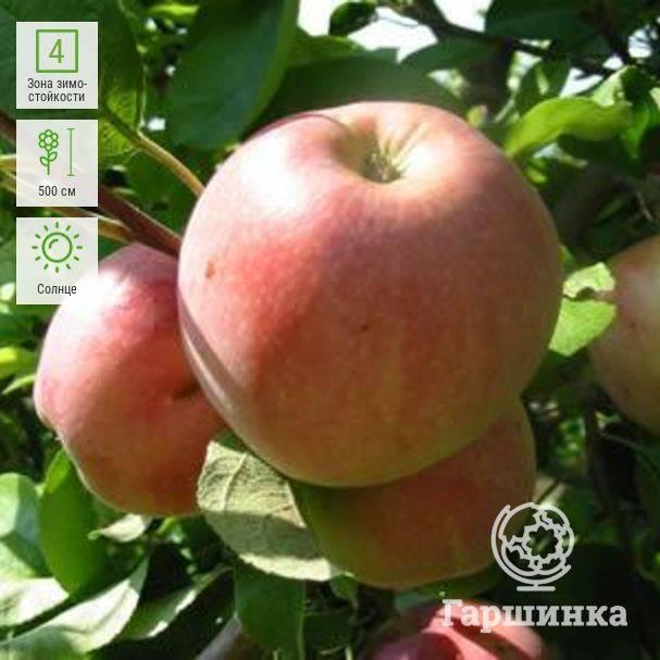 Яблоня июльское черненко: описание сорта и фото, особенности и характеристики