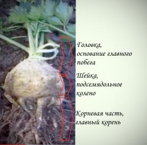 Все хитрости про выращивание корневого сельдерея