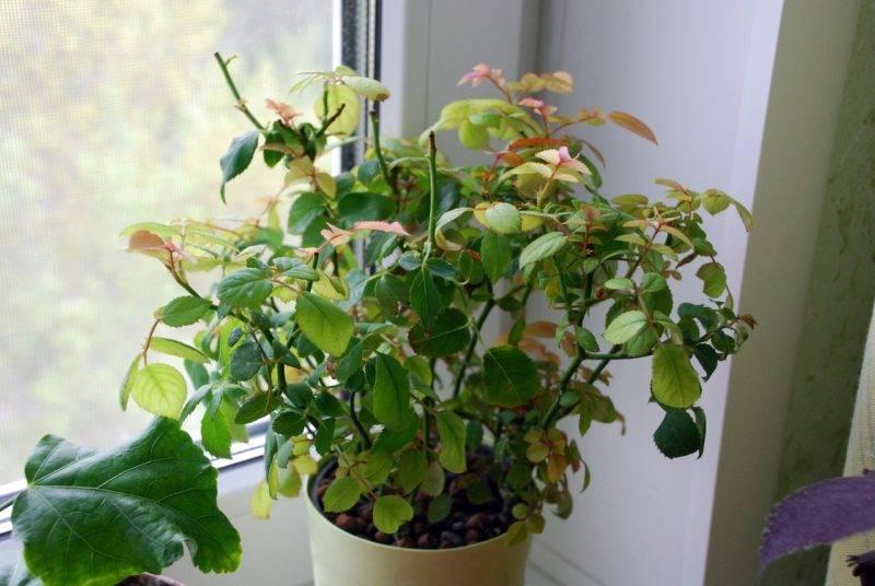 Комнатная роза сбрасывает листья и бутоны и засыхает. почему это происходит и как спасти растение?