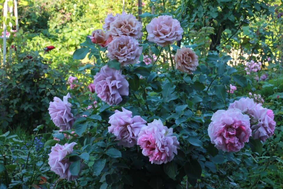 Об уходе за розами в саду, на даче, в открытом грунте, правила выращивания