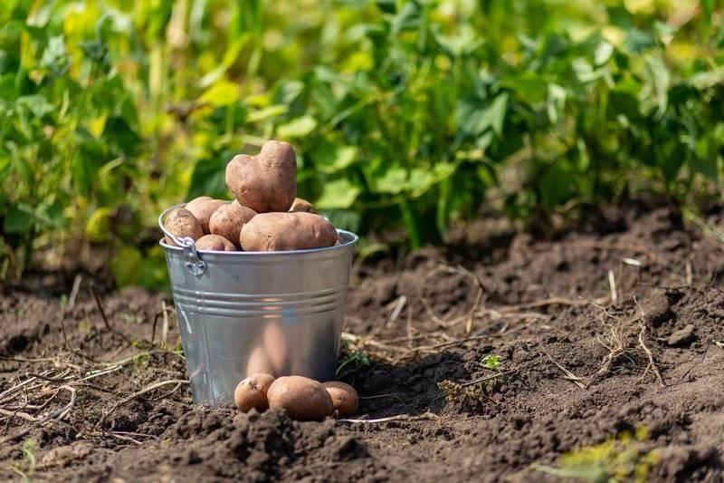 Что сажать после картофеля на следующий год – список культур