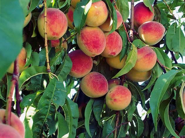 Как правильно посадить саженцы плодовых деревьев