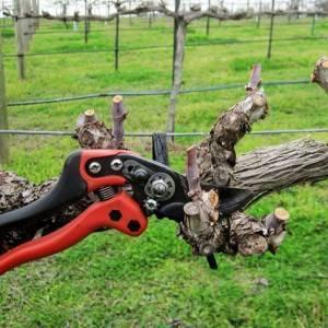 Как обрезать старый виноград осенью, видео для начинающих