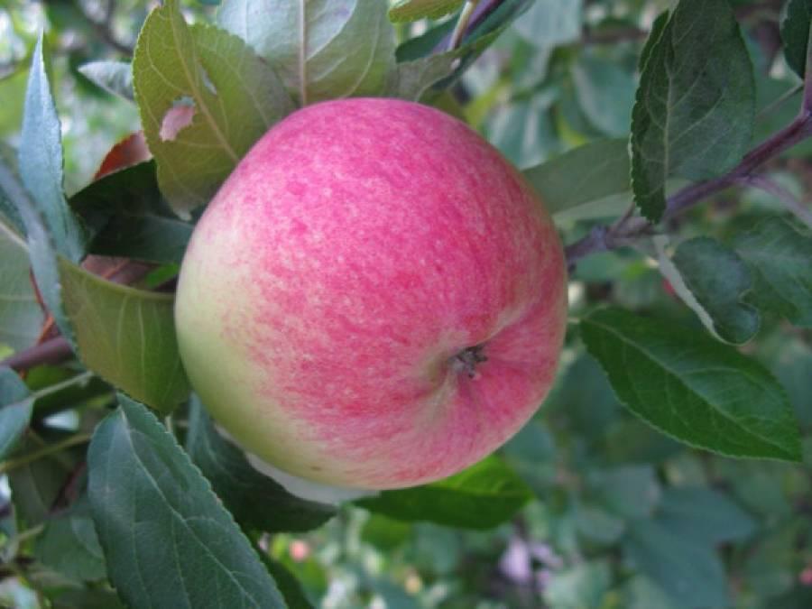 Яблоня «грушовка московская»
