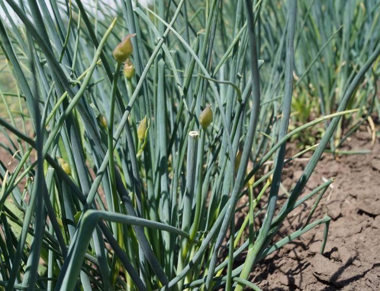 Получение богатого урожая репчатого лука, соблюдая технологию выращивания овоща