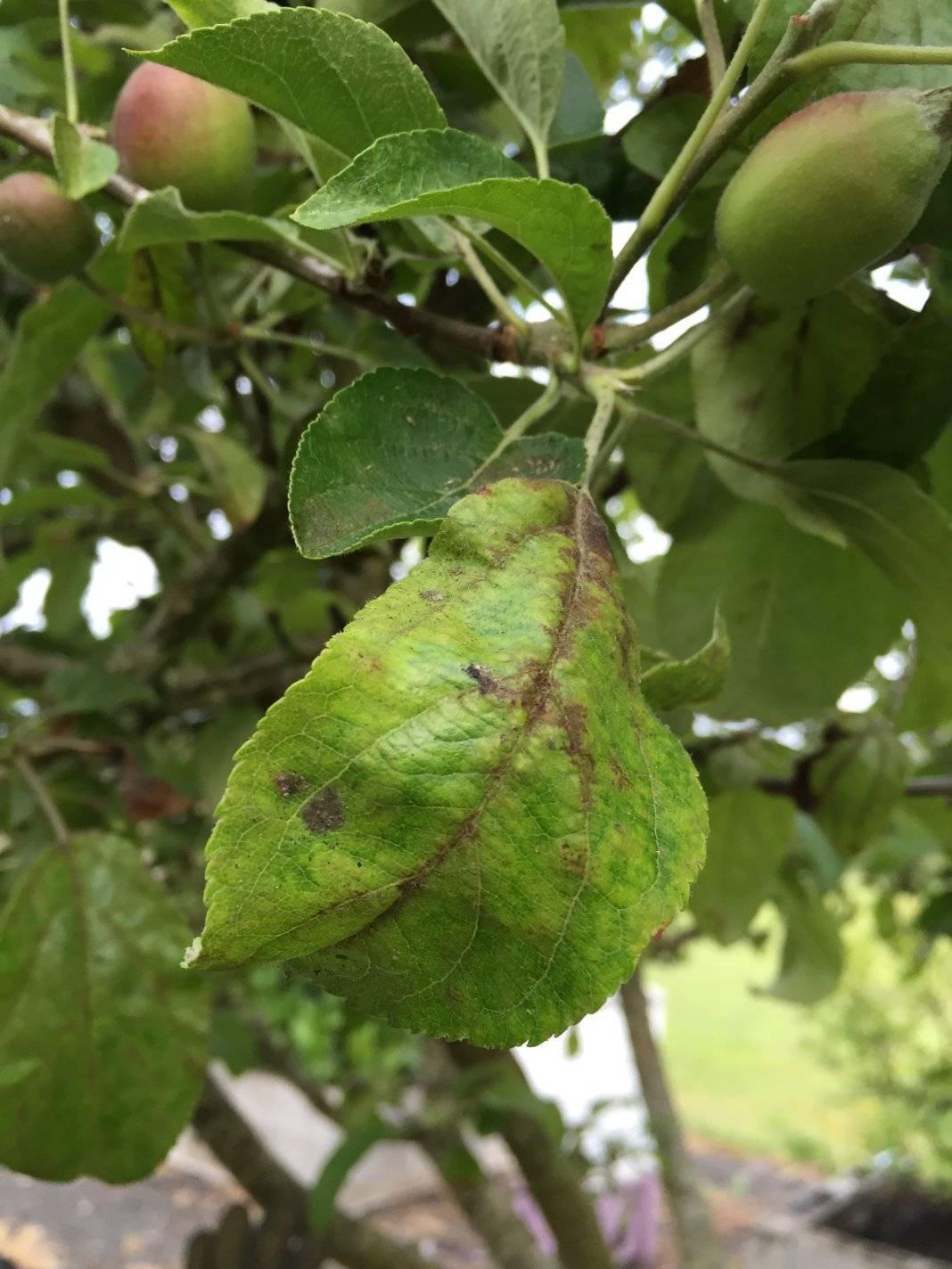 Основные причины скручивания листьев яблони – подробное руководство по лечению