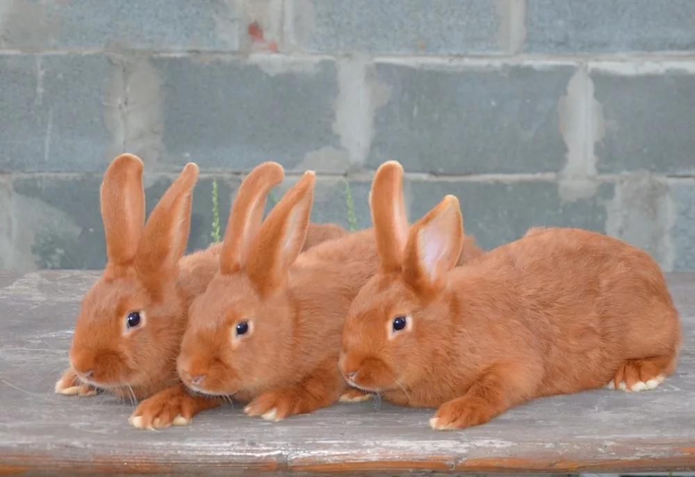 алена картинка красного кролика цены размещение